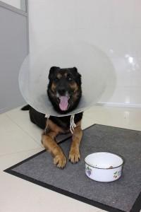 Собака встала после пулевого ранения в спину