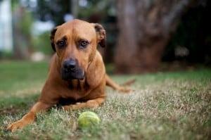Отодектоз у собак и кошек