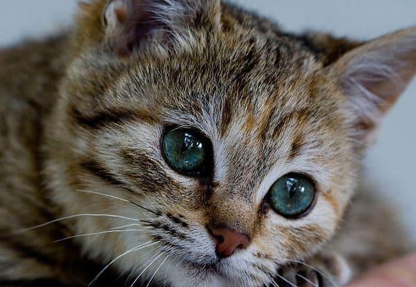 Кастрация котов