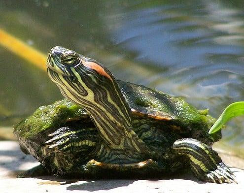 Содержание красноухих черепах в неволе