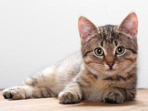 Гипертериоз у кошек