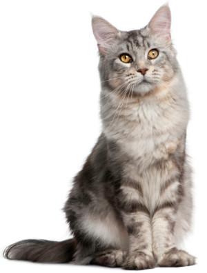 Мастопатия у кошек
