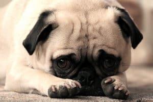 Воспаление краев век у собак