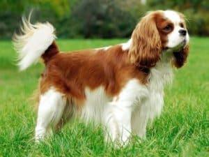 Синдром эпизодического падения у собак