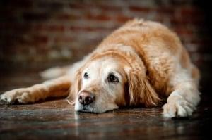 Травмы грудной клетки у собак