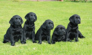 Дисплазия у щенков