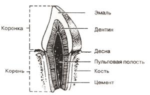 Зубы_1