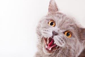 Кошка дышит с открытым ртом
