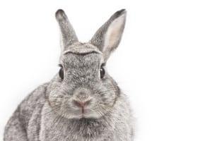Вирусная геморрагическая болезнь кроликов (ВГБК)