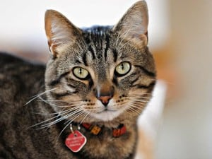 Печеночная недостаточность у кошек