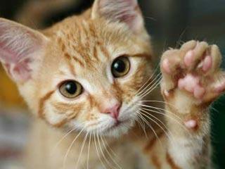 Проведение химиотерапии у кошек