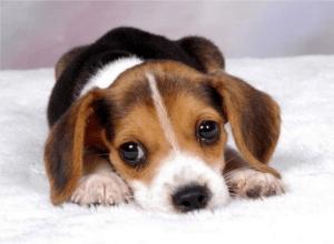 Понос у щенков