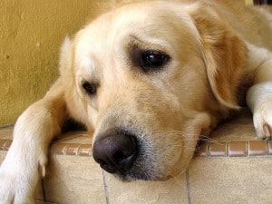 Язва желудка у собак