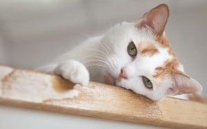 Вирусный лейкоз кошек