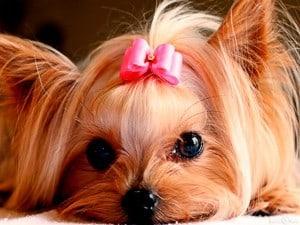 Портокавальный шунт у собак