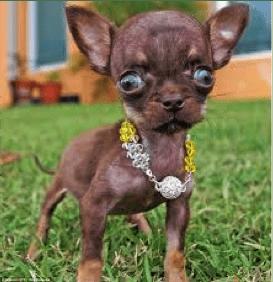 Гидроцефалия у собак и кошек_2