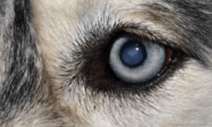 Катаракта у собак_1