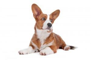 Увеличение селезенки у собак