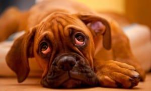 Воспаление параанальных желез у собаки