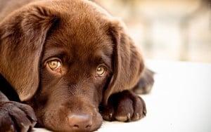 Бруцеллез собак