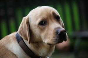 Овариогистерэктомия собак