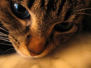 кровь в моче у кошки