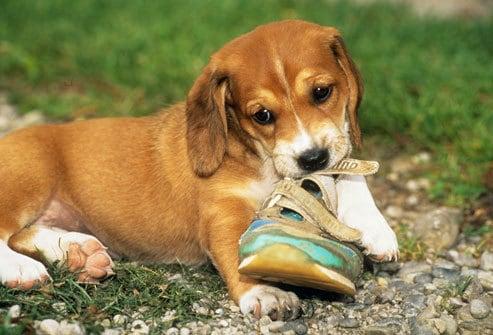 Как отучить собаку грызть