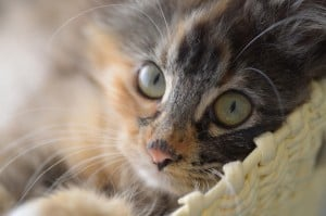 Камни в мочевом пузыре у кошки