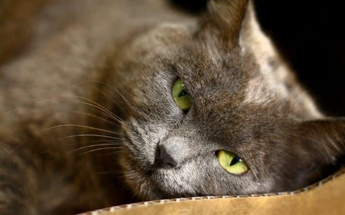 Лимфосаркома у кошек