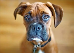 Меланома у собаки