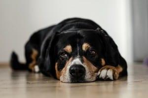 Вывих коленного сустава у собак
