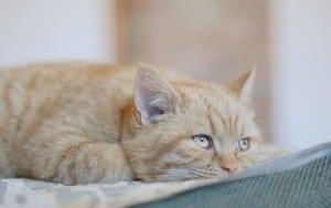 Пиелонефрит у кошек