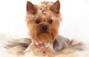 Шунты в печени у собак