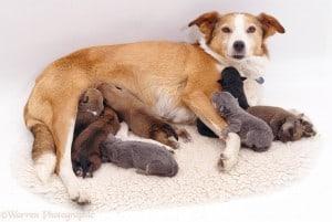 Мастопатия у собак