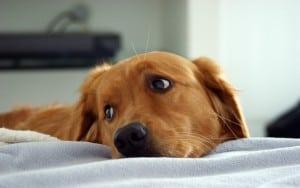 Разрыв мочевого пузыря у собаки