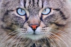 Заворот века у кошки