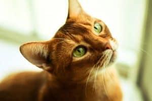 Воспаление поджелудочной железы у кошек