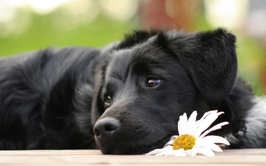 Бурсит у собак