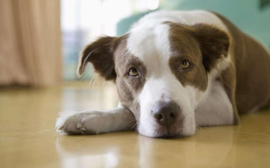 Мастэктомия у собак