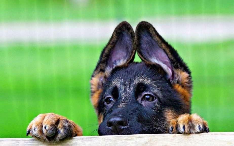 Собака порвала ухо