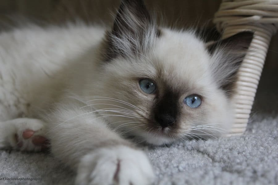 Инородное тело в желудке у кошки