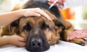 Перелом позвоночника у собаки