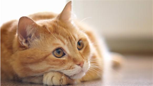 Холангиогепатит у кошек