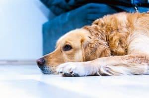 Кератиты у собак