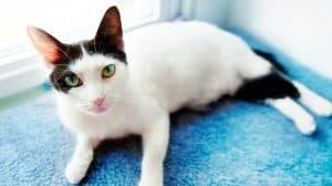 Поствакцинальная саркома у кошек