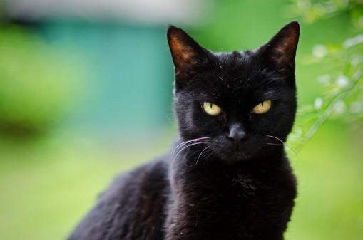 Симблефарон у кошек