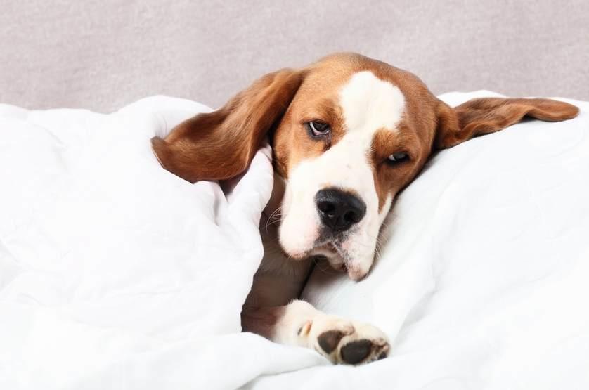Воспаление лимфатических узлов (лимфаденит) у собак