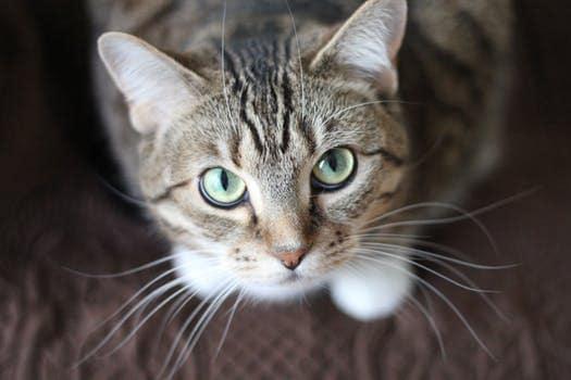 Гипогликемия у кошек