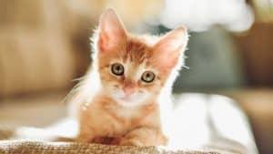 Как лечить кошкам ларингит thumbnail