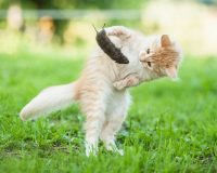 Лептоспироз кошек